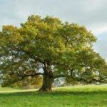 Vieil arbre isolé © S.Allenpaul