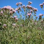 Chardon des champs (Cirsium arvense)