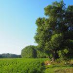 Le Peuplier noir remarquable, un des nombreux arbres isolés présents sur la ferme © LPO Drôme