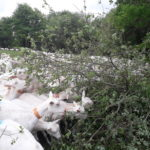 Les arbres, une ressource fourragère pour les chèvres en fin d'été © A.Lorioux