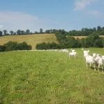 Troupeau de chèvres dans les pâtures © C.Carr